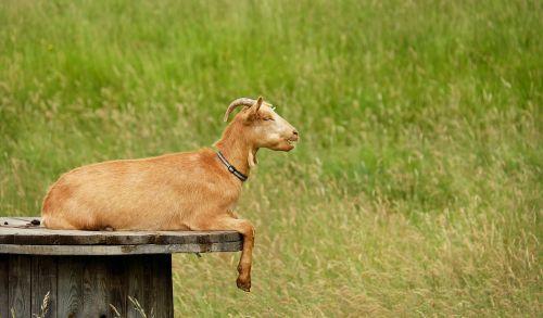 goat animal creature