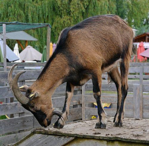 goat animal horns