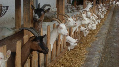 goat horns goat cheese