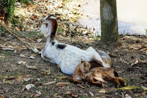 goat rest sleep