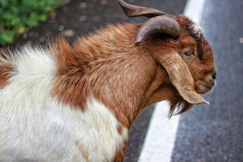 goat flirt livestock