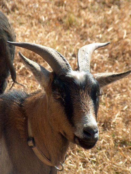 goat farmyard horns