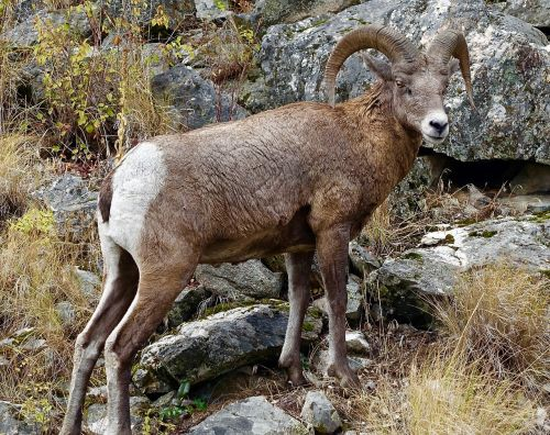 goat longhorn canada