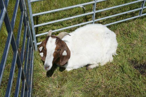 goat animal farm