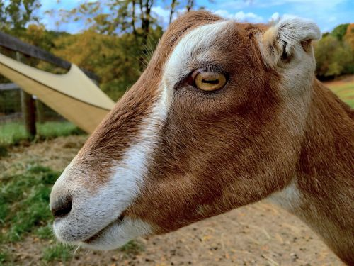 goat profile portrait