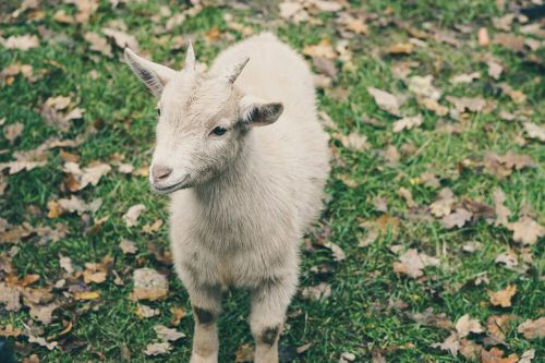 goat cream green