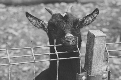 goat black green