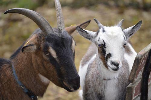goat white bock