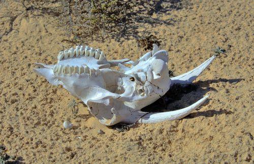 goat skull skeleton
