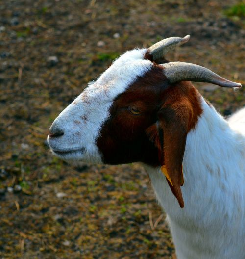 goat billy goat goatee