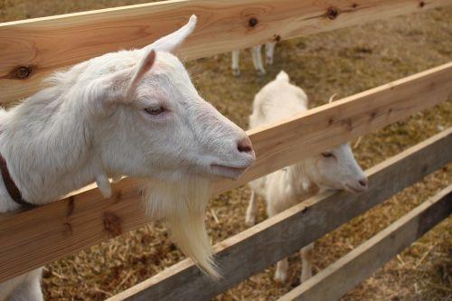 goat parent child japan