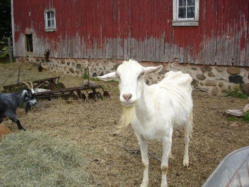 goat farm red barn