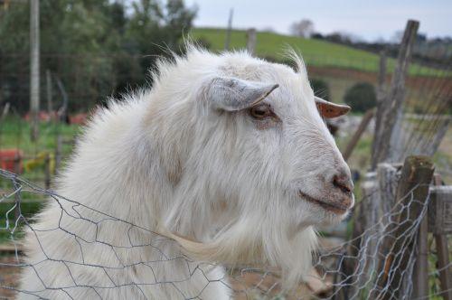 goat farm campaign