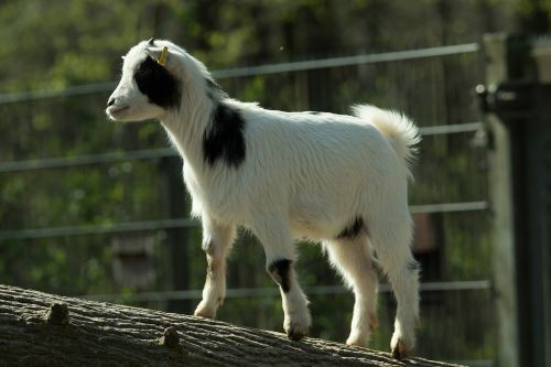 goat zoo domestic goat