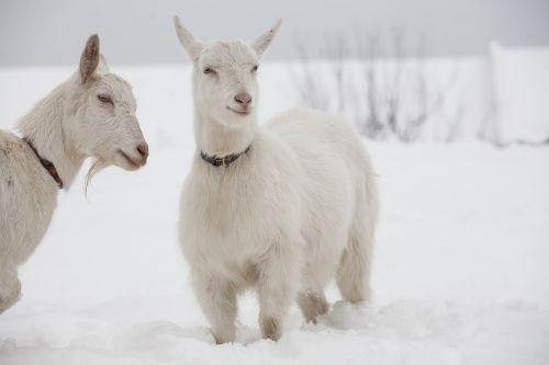 goat white goats