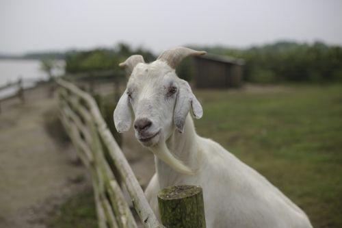 goat lake beard