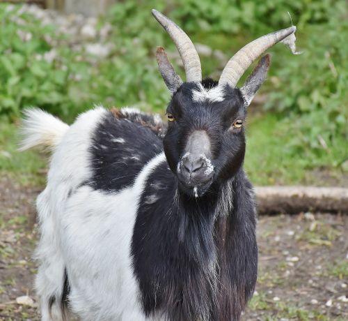 goat bock horns