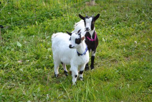 goat kids breeding