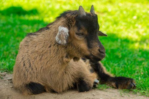 goat dwarf goat domestic goat