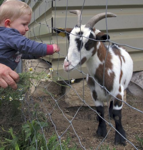 goat kid small child