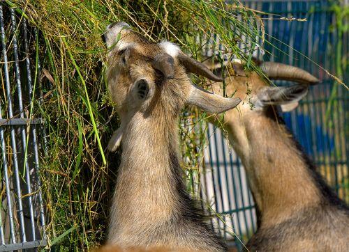 goat goats eat