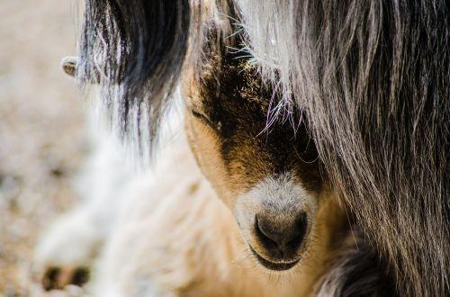 goat baby farm