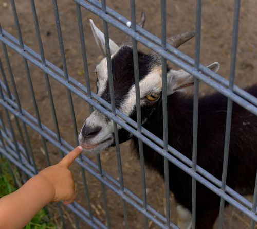 goat fence finger