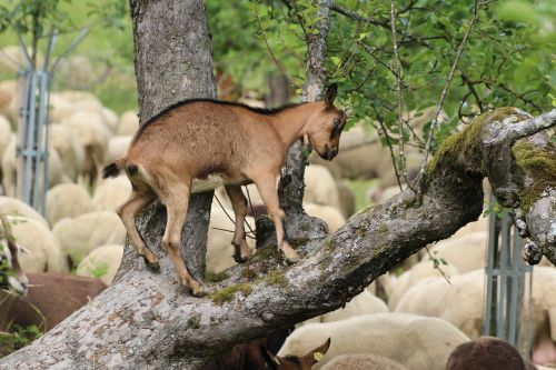 goat climb tree