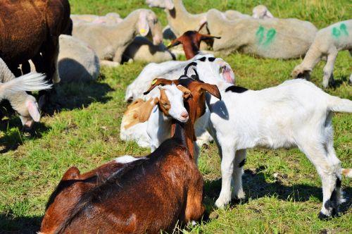 goat prima donna geiss