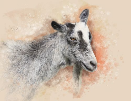 goat animal pet