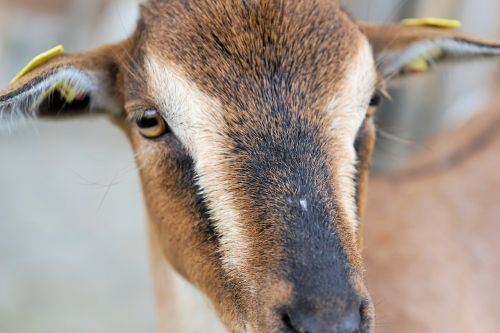 goat dwarf goat pet