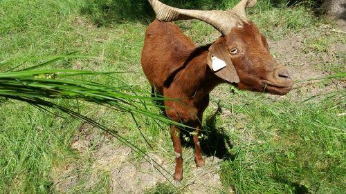 ožka,gyvūnai,veisimas,naminis gyvūnas,maistas