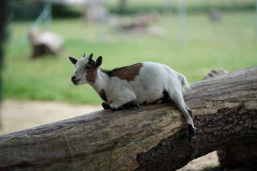 goat rest funny