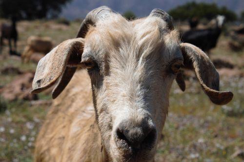 goat profile interest