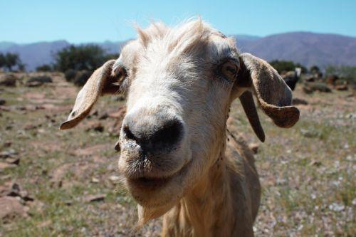 goat hello greeting