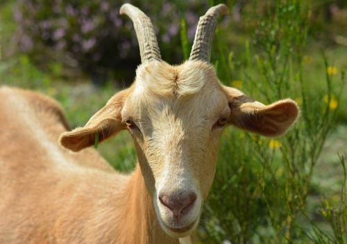 goat billy goat bock