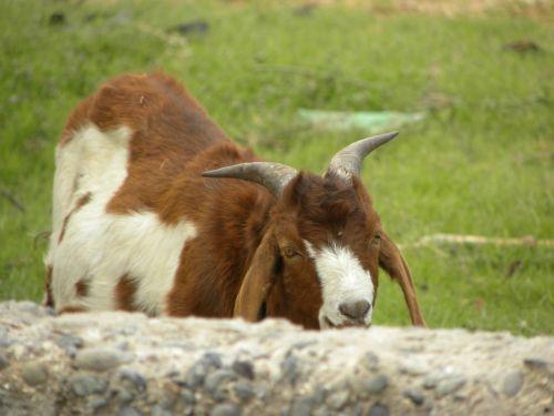 goat horns kid