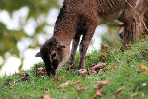 goat pillar baby