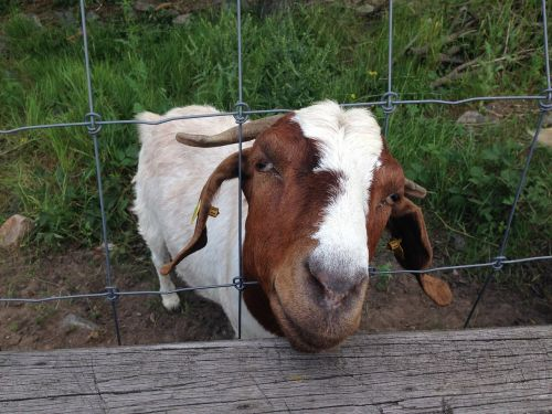 goat fence billy goat