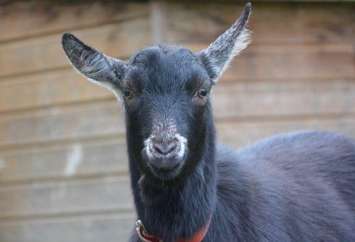 goat goat black white field