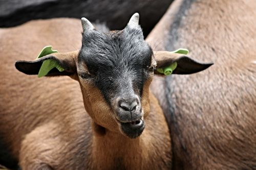 goat domestic goat animal