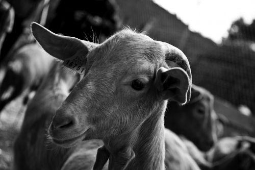goat monochrome farm