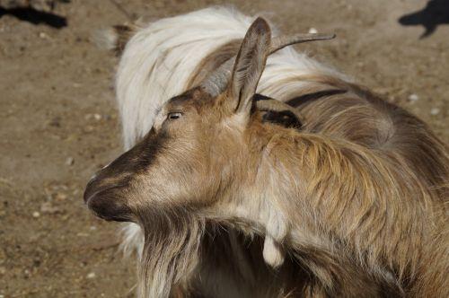 goat scratch horns