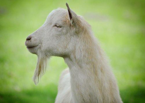 goat  animal  mammal