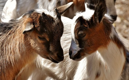 goat  young animals  playful