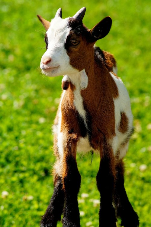 goat  young goat  kid