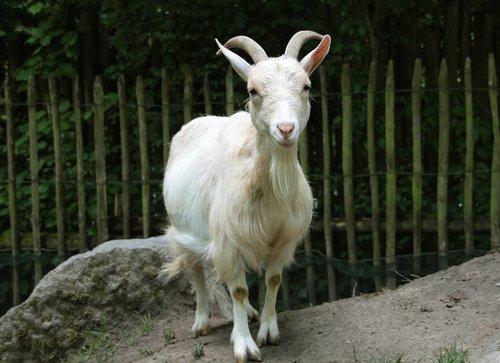 goat  zoo  petting zoo
