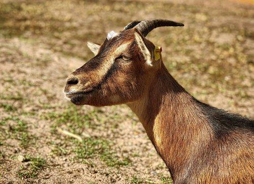 goat  horns  mammal