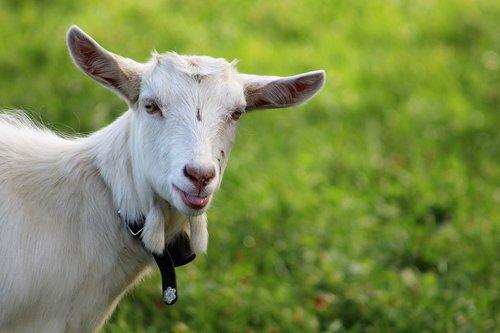 goat  alpine pasture  appenzell