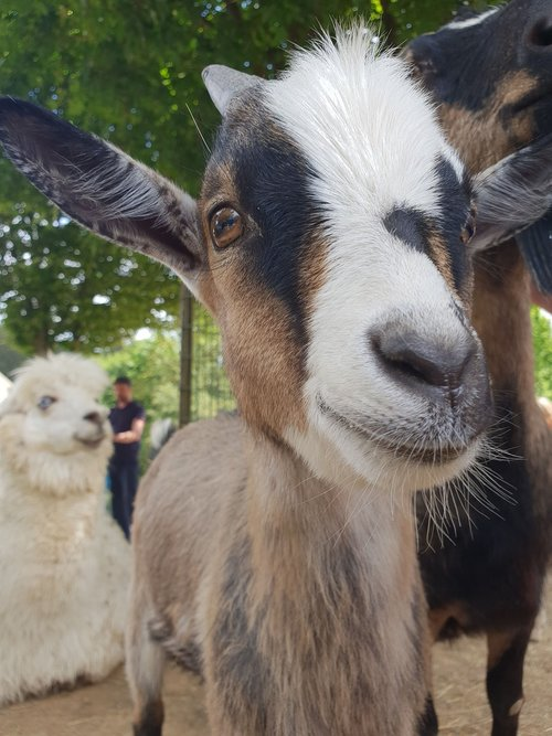goat  close up  mammal